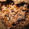 シロアリ実はゴキブリの仲間